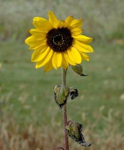 One of the wildflowers still left in my garden