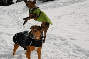 Toby and Bruce in their winter coats