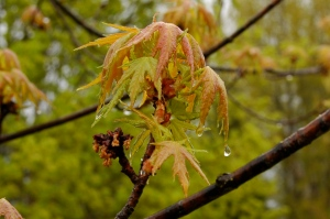Maple leaf dripping with spring rain