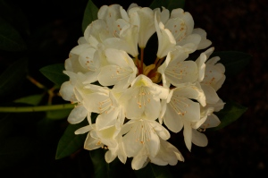 A cream colored rhododendron at dusk