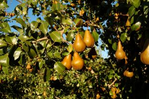 Golden brown Bosc pears
