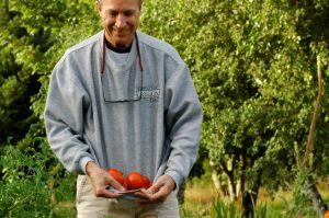 Harvesting  my tomatoes