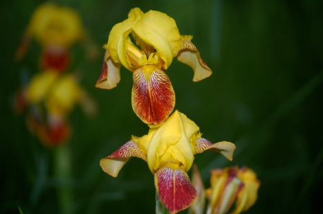 Yellow iris with a scarlet tongue