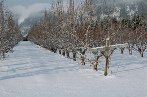 Rows of dormant fruit trees.