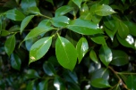 Shrub with Shiny Leaves