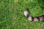 Cat Tail Bush