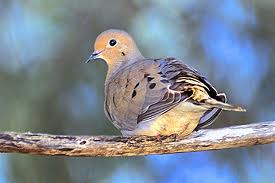 Mourning Dove on a perch