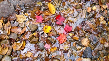 Leaf Litter in a Stream on a Trail Near the Summit of White Mountain