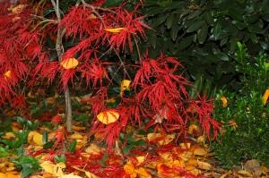Japanese Maple in My Garden