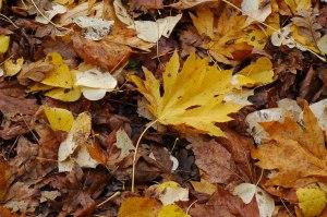 Nice Fat Big Leaf Maple Specimen