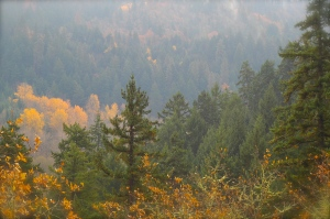 Mist and Maple and Fir Trees