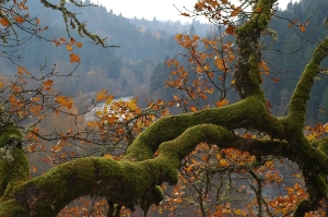 Moss Covered Oak Tree on the Indian Creek Trail