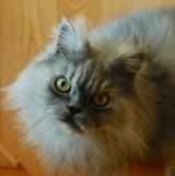 Silver, a Neighbor's Cat.