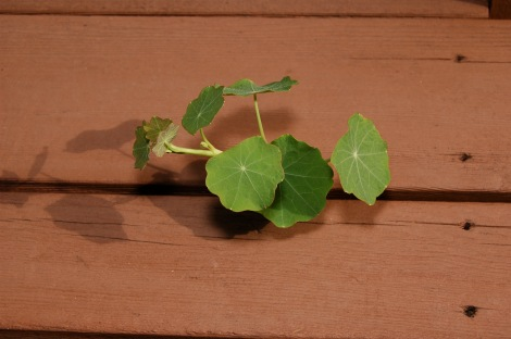 Like these resilient nasturtiums, I am back in the light and can breathe again.