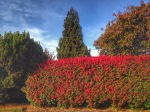 Burning Bush Hedges