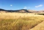 Amber waves of grain in Montana.