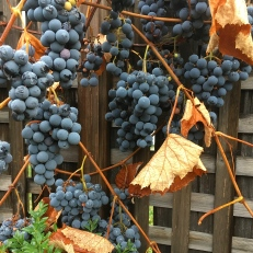 Grapes left for the birdlife.